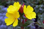 cosmetics with evening primrose oil